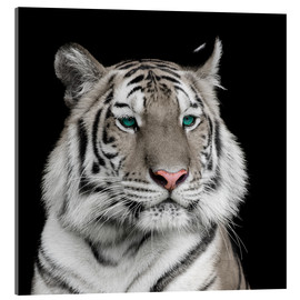 Acrylic print  Sumatran tiger with turquoise eyes