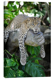 Canvas print  Leopard hanging around