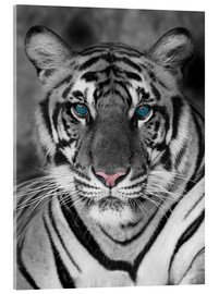 Acrylic print  Tiger portrait with color accents