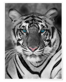 Premium poster  Tiger portrait with colour accents