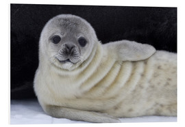 Forex  Weddell seal pup