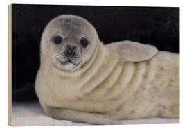 Wood  Weddell seal pup