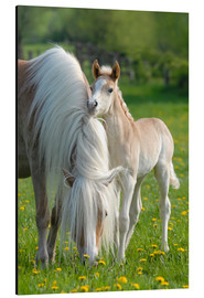 Aluminium print  Haflinger horse foal beside its mother - Katho Menden