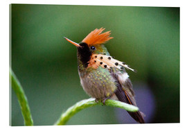 Acrylic print  Tufted coquette hummingbird - Bob Gibbons