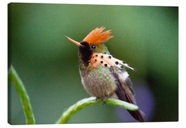 Canvas  Tufted coquette hummingbird - Bob Gibbons