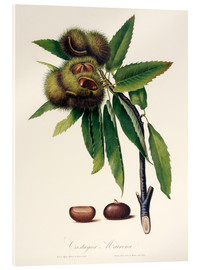 Acrylic print  Sweet chestnut, 19th century illustration