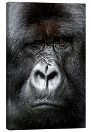 Canvas print  Silverback gorilla looking intensely, in the Volcanoes National Park, Rwanda, Africa - Matt Frost