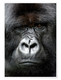 Premium poster  Silverback gorilla looking intensely, in the Volcanoes National Park, Rwanda, Africa - Matt Frost