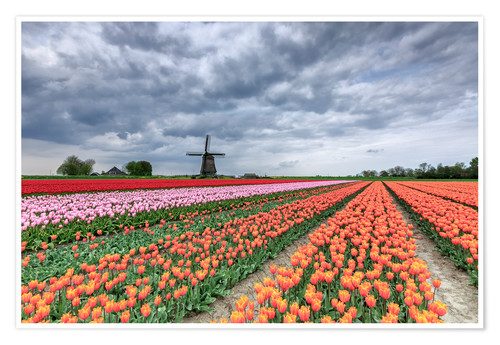 Premium poster Multicolored tulips and windmill