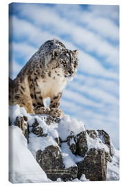 Canvas print  Snow leopard (Panthera india) - Janette Hill