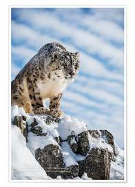 Premium poster  Snow leopard (Panthera india) - Janette Hill