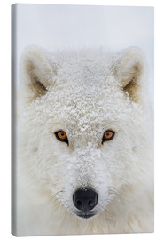 Dominic Marcoux - Arctic Wolf
