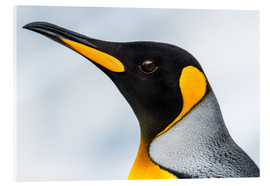 Acrylic print  King Penguin - Nick Dale
