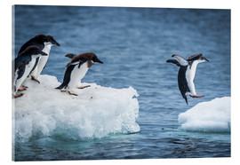 Acrylic glass  Adelie penguins between two ice floes - Nick Dale