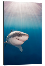 Aluminium print  Great white shark - Dave Fleetham