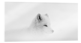 Acrylic print  Arctic fox in a snowstorm - Dominic Marcoux