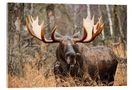 Acrylic print  Moose in the forest - Doug Lindstrand