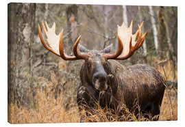 Canvas print  Moose in the forest - Doug Lindstrand