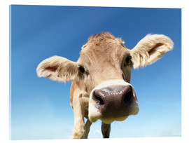 Acrylic print  curious cow - Jens Lucking