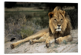 Acrylic print  Male lion - Peter Chadwick
