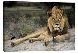 Canvas print  Male lion - Peter Chadwick