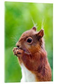 Acrylic print  Red squirrel - Simon Fraser