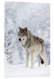 Acrylic print  Tundra Wolf in snow - Doug Lindstrand