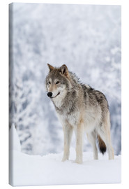 Canvas  Tundra Wolf in snow - Doug Lindstrand