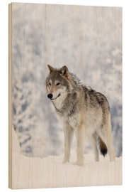 Wood print  Tundra Wolf in snow - Doug Lindstrand