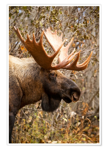 Premium poster Moose in profile