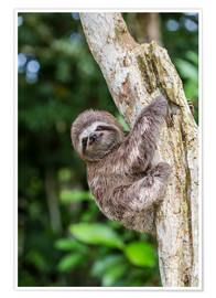 Premium poster  Brown-throated sloth - Michael Nolan