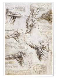 Premium poster  Muscles and tendons of the shoulder and upper limb - Leonardo da Vinci