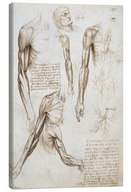 Canvas print  Muscles of a man - Leonardo da Vinci