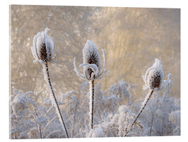 Acrylic glass  Hoar frost on a teasel in wintertime - Katho Menden