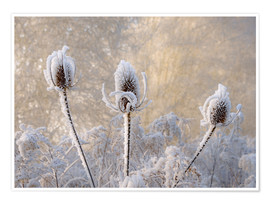 Premium poster Hoar frost on a teasel in wintertime