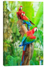 Canvas print  Group of Dark Red Macaws