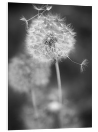 Foam board print  Dandelion (black/white) - Julia Delgado