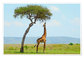 Premium poster  Giraffe eats on a tall tree - HADYPHOTO