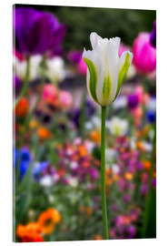 Acrylic print  Tulips at springtime - Frank Fischbach