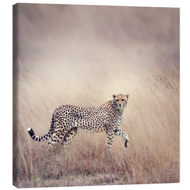 Canvas print  Cheetah on the hunt