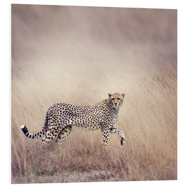Foam board print  Cheetah on the hunt