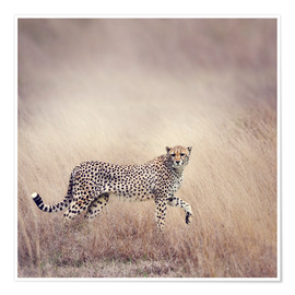 Premium poster  Cheetah on the hunt