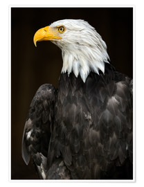 Premium poster Bald Eagle Portrait