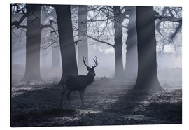 Aluminium print  A male red deer stag waits in the early morning mists of Richmond park, London. - Alex Saberi