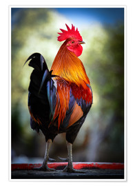 Premium poster  Tail feathers of a rooster