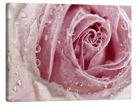 Canvas  Rosy Rose