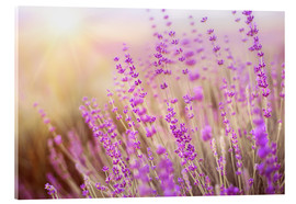 Acrylic glass  blooming lavender