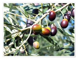Premium poster  Olive tree in sunlight