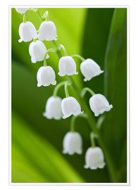 Premium poster Lily of the Valley