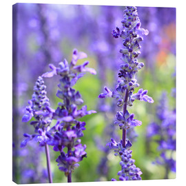 Canvas print  blooming lavender